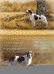 Irish Red and White Setter-Welpen (1947. Ergebnis)