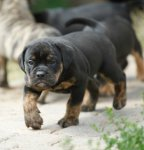 Olde English Bulldogge-Welpen in Brandenburg (3. Ergebnis)