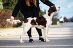 Irish Red and White Setter-Welpen (2. Ergebnis)