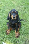 Black and Tan Coonhound-Welpen (1. Ergebnis)