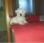 West Highland White Terrier-Welpen in Serbien (1. Ergebnis)