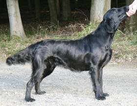 Foto: Flat-Coated Retriever