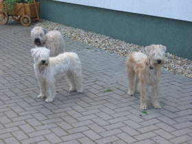Irish Soft Coated Wheaten Terrier Zwinger Wheaten Vom Wolfshorst Berlin Berlin Snautz De