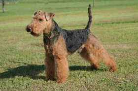 Foto: Welsh Terrier