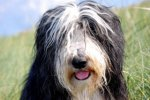 Bearded Collie-Hundezüchter in Nordrhein-Westfalen (1. Ergebnis)