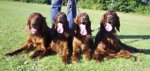 Irish Red Setter-Hundezüchter in Bremen (6. Ergebnis)