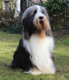 Foto: Bearded Collie