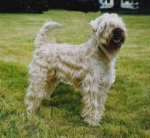Irish Soft Coated Wheaten Terrier-Hundezüchter (7. Ergebnis)