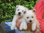 West Highland White Terrier-Hundezüchter (3250. Ergebnis)