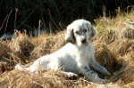 English Setter-Hundezüchter in Berlin (6. Ergebnis)