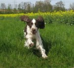 English Springer Spaniel-Hundezüchter (4. Ergebnis)