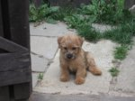 Norfolk Terrier-Hundezüchter in Berlin (1. Ergebnis)