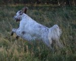 English Setter-Hundezüchter in Brandenburg (1. Ergebnis)