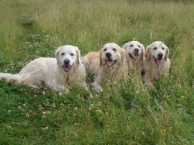 Foto: Golden Retriever