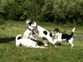 Foto: Parson Russell Terrier