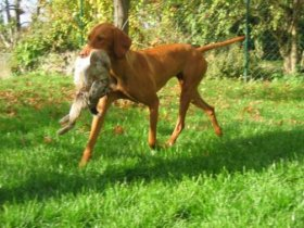 Vizsla Dog Breed Information Pictures Characteristics