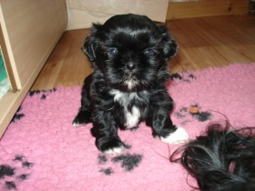 shih tzu zwinger from buddha s paradise r then. Black Bedroom Furniture Sets. Home Design Ideas