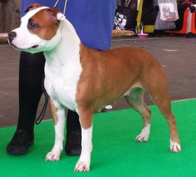 Foto: American Staffordshire Terrier