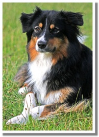 Australian Shepherd Zwinger Of The Hillbillies Muldestausee