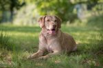 Chesapeake Bay Retriever-Hundezüchter (4. Ergebnis)