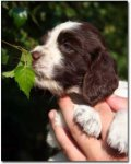 English Springer Spaniel-Hundezüchter (10. Ergebnis)