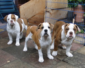 Olde english bulldogge zwinger of mystery bulldogs heidesee