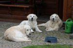 Golden Retriever-Hundezüchter in Nordrhein-Westfalen (4. Ergebnis)