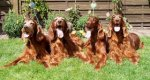 Irish Red Setter-Hundezüchter in Bremen (1. Ergebnis)