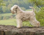 Irish Soft Coated Wheaten Terrier-Hundezüchter in Slowakei (17. Ergebnis)