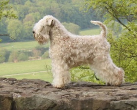 Foto: Irish Soft Coated Wheaten Terrier
