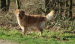 Golden Retriever-Hundezüchter in Limburg (3. Ergebnis)