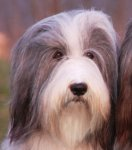 Bearded Collie-Hundezüchter in Burgenland (5. Ergebnis)