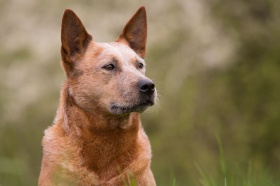 Foto: Australian Cattle Dog