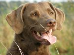 Chesapeake Bay Retriever-Hundezüchter (5. Ergebnis)