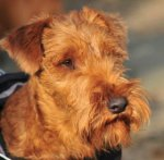 Irish Terrier-Hundezüchter in Nordrhein-Westfalen (7. Ergebnis)