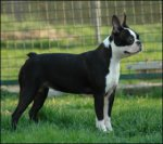 Boston Terrier-Hundezüchter in Ermland-Masuren (2. Ergebnis)