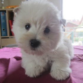 Foto: West Highland White Terrier