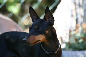 Foto: English Toy Terrier