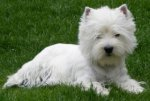 West Highland White Terrier-Hundezüchter (13. Ergebnis)