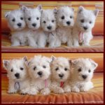 West Highland White Terrier-Hundezüchter (5. Ergebnis)