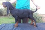 Black and Tan Coonhound-Hundezüchter in Ungarn (37. Ergebnis)