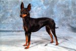 English Toy Terrier-Hundezüchter (3. Ergebnis)