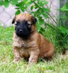 Irish Soft Coated Wheaten Terrier-Hundezüchter in Niedersachsen (1. Ergebnis)