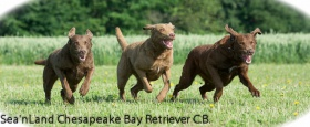 Foto: Chesapeake Bay Retriever