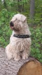 Irish Soft Coated Wheaten Terrier-Hundezüchter in Hessen (1. Ergebnis)