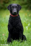 Curly-Coated Retriever-Hundezüchter (1. Ergebnis)