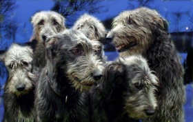 Foto: Irish Wolfhound