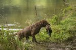 Chesapeake Bay Retriever-Hundezüchter in Hamburg (1. Ergebnis)