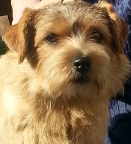 Foto: Norfolk Terrier