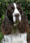 English Springer Spaniel-Hundezüchter (5. Ergebnis)